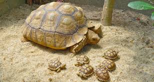 Russian Tortoise Age Size Chart African Sulcata Tortoise Geochelone Sulcata Species