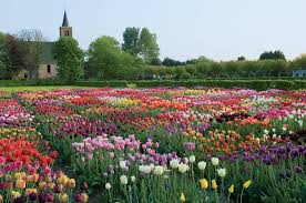 field of tulips hortus bulborum hortus bulborum limmen nl