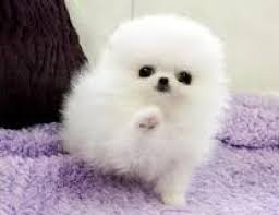 cute puppies for sale. Beautiful Sale 4 Cute Pomeranian Puppies For Saleadoption Text 6122311213 On Puppies For Sale T
