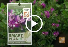 water conservation for your lawn or garden at the home depot sweet pea plants