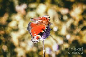 Beautiful european orange Peacock butterfly on mauve flower in autumn  Photograph by Gregory DUBUS