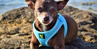Best Chihuahua Harness Top Harnesses Leash For