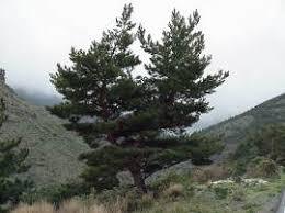 Resultado de imagen para imagenes de pinus sylvestris