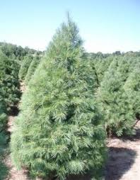 Christmas 2014 Where To Buy The Best Christmas Tree How To Pick Types Of Fir Christmas Trees