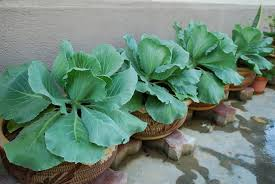 cabbage plant stages. Perfect Cabbage Throughout Cabbage Plant Stages My Little Vegetable Garden