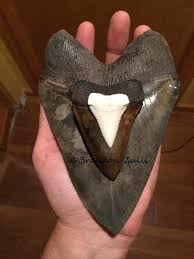 Shark Tooth Size Chart Megalodon Vs Great White Tooth Size Fossilera Com