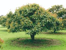 Avocado Trees Produced By Waimea Nurseries