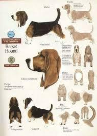 Bluetick Coonhound Size Chart Basset Bassett Hound Basset Hound Puppy Hound Puppies
