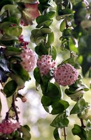 room plants x: houseplants the compact form of the wax plant hoya carnosa compacta needs a humid room with sharp draining and well aerated compost