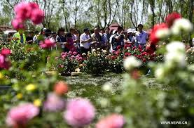 tourists view the chinese roses during a rose expo at the jingbin rose garden in tianjin north china may 15 2017 over 100 000 chinese roses were