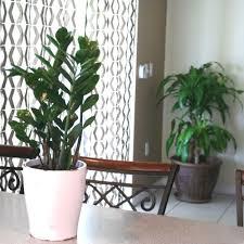 office pot plants. ZZ Plant In 6 In. Grower Pot Office Plants I
