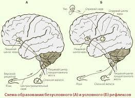 Высшая нервная деятельность человека