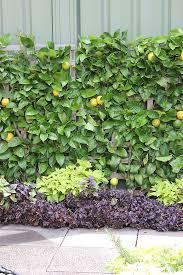 lemon tree x: unique patio lemon tree  espalier lemon tree