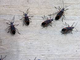 Small Beetles In Bedroom How Do I Control Box Elder Bugs In My House