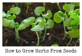 how to start an herb garden. how to start an herb garden from seed - basil seedlings.