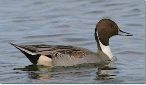 Identification Of Diving Ducks