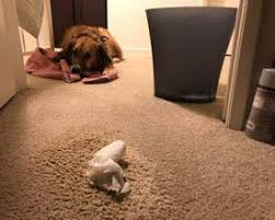 soiled carpeting rugs and your pets