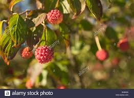 Best 25 Mulberry Tree Ideas On Pinterest  Mulberry Fruit Fast Tree With Blackberry Like Fruit
