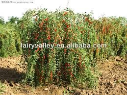 how to plant goji berry tree