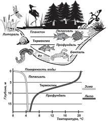 Водные экосистемы озер морей и океанов Свойства воды Типичная экосистема пресноводного водоёма умеренных широт
