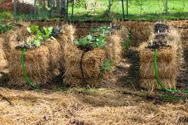 try straw bale gardening no weeding