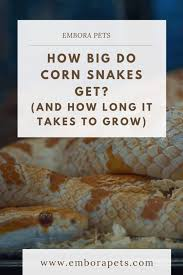 How Big Do Corn Snakes Get And How Long It Takes To Grow