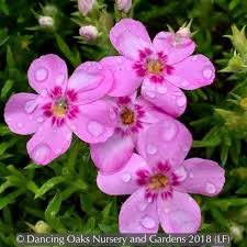 Phlox 'Star of Heaven', Moss Phlox – Dancing Oaks Nursery and Gardens