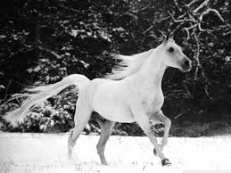 white horses in snow. Beautiful Horses 1024x768 And White Horses In Snow E