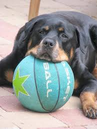 Small Picture 671 best Rottweiler pictures images on Pinterest Rottweilers