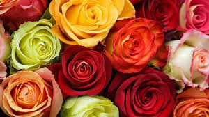 colorful rose wallpapers. Simple Wallpapers Colorful Roses Wallpaper On Rose Wallpapers
