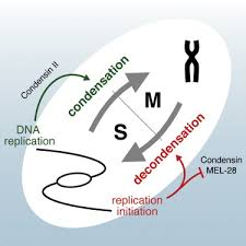 Dna Replication Definition Both Chromosome Decondensation And Condensation Are Dependent On Dna