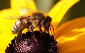 Строение наружных органов пчел Строение наружных органов пчелы  Строение наружных органов пчел