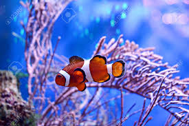 Fish Backgrounds Clownfish Amphiprioninae In Aquarium Tank With Reef As Background