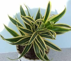 dracaena fragrans poisonous houseplants for dogs