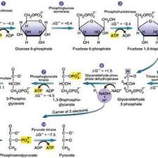 Glycolysis 10 Steps Explained Steps 41537600873 Glycolysis Flow