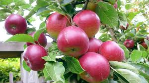 fruit trees wallpapers. Perfect Trees In Fruit Trees Wallpapers R