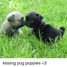 pug puppies. Modren Puppies Memes Puppies And  A Kissing Pug Puppies U003c3 Intended Pug Puppies