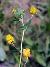 Large Hop Trefoil, Trifolium aureum - Flowers - NatureGate
