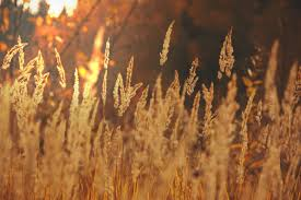 dry grass field background. Wallpapers ID:177919 Dry Grass Field Background C