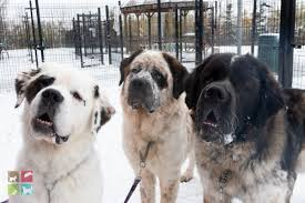 humane society dogs. Modren Society News Release Trio Of Saint Bernard Dogs Looking For Their Forever Home Inside Humane Society A