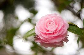 Photo Pink color Flowers Camellia