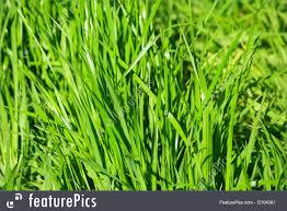 tall green grass field. Plants: Blades Of Green Grass. Tall Grass Field
