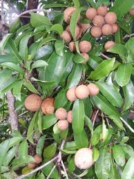 Image result for image of chikoo tree/chhayaonline.com