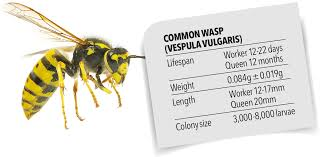 Bee And Wasp Identification Chart Uk Pest Advice For Controlling Wasps
