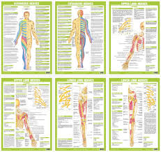 Human Nervous System Anatomy Charts Clinical Medical Posters