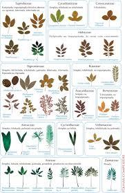 Herb Plant Identification Chart Plant Identification By Leaf Chart Tree Identification