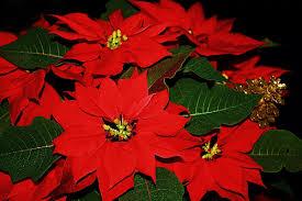 Weihnachtsstern Fotocommunityto Die Klassische