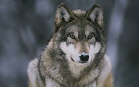 wolf wallpaper hd. Simple Wolf Wolf Wallpapers  Full HD Wallpaper Search Intended Wallpaper Hd 0