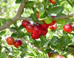 How To Grow Barbados Cherry  Care And Growing Acerola Cherry Cherry Fruit Tree Care