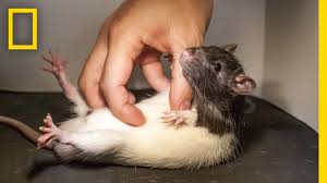 See What Happens When You Tickle a <b>Rat</b> | National Geographic ...